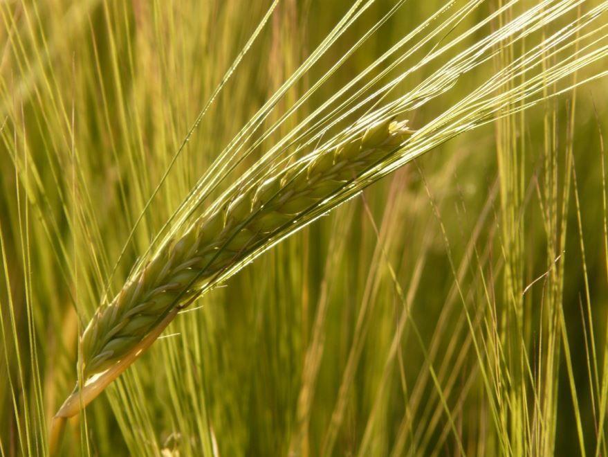 Скачать бесплатно пророщеной, яровой пшеницы, использующуюся для самогона