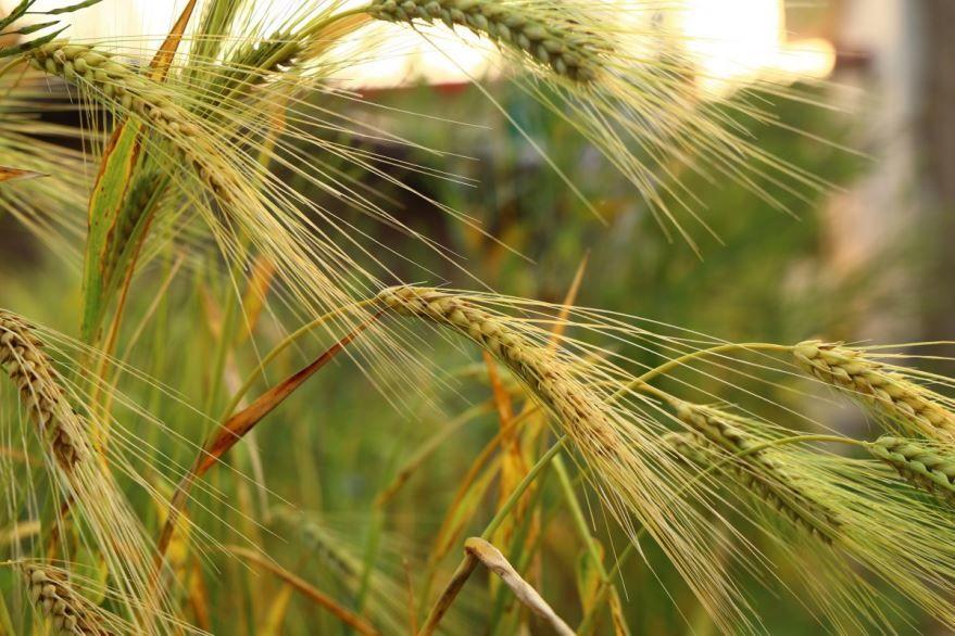 Выращенная в домашних условиях, в поле пшеница твердых сортов 2019 года