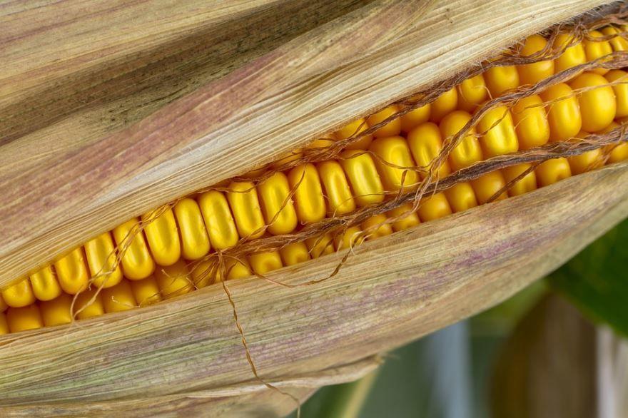 Смотреть фото вареной кукурузы, использующейся во вкусном салате с крабовыми палочками