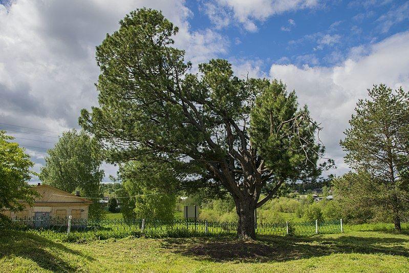 Смотреть фото сибирского кедра с официального сайта сепия