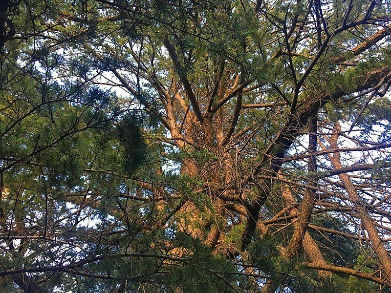 Скачать бесплатно фото канадского кедра с шишками и орешками