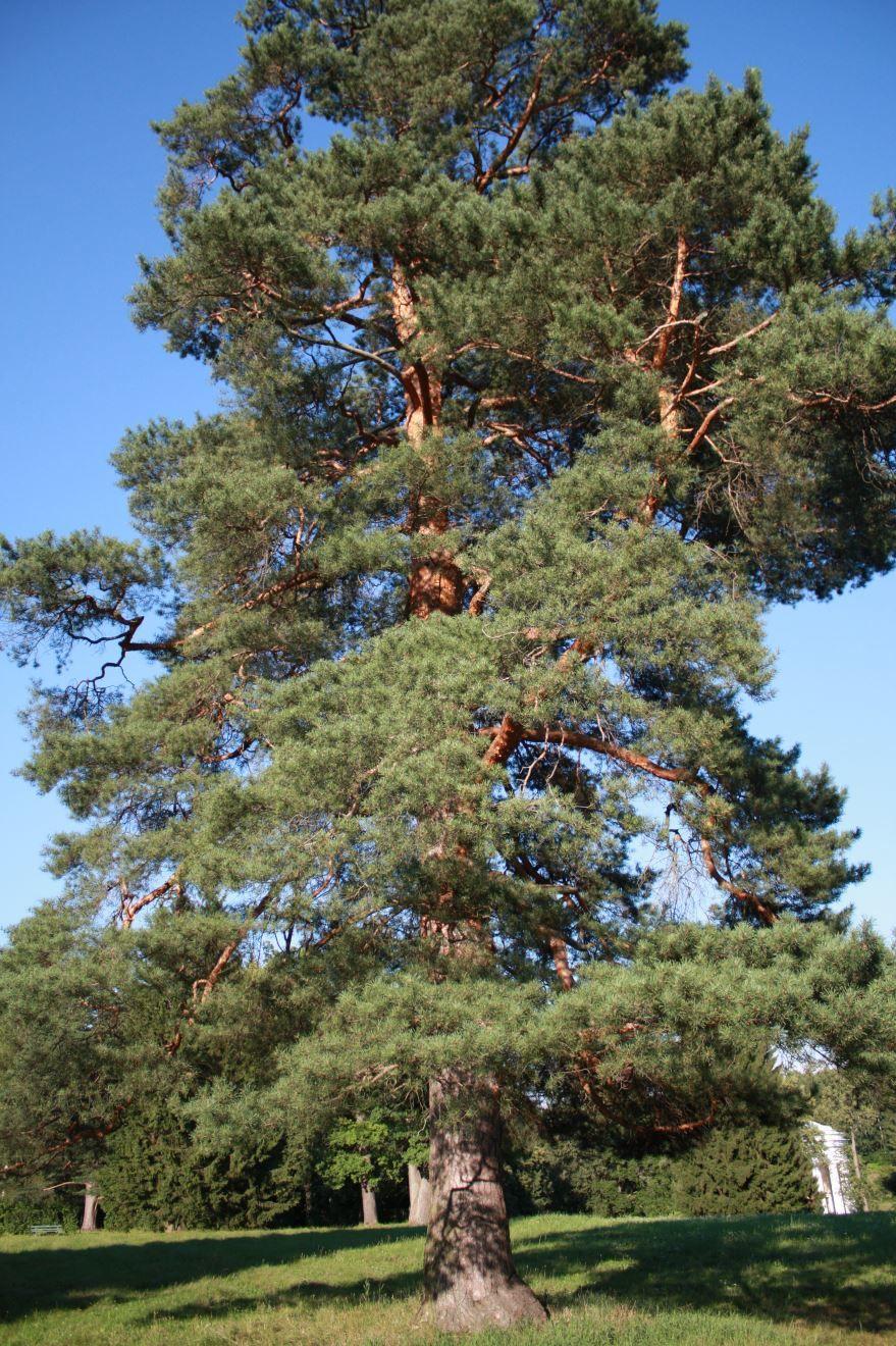 Бесплатные фото и картинки звенящих кедров из Москвы, для получения орехов и масла