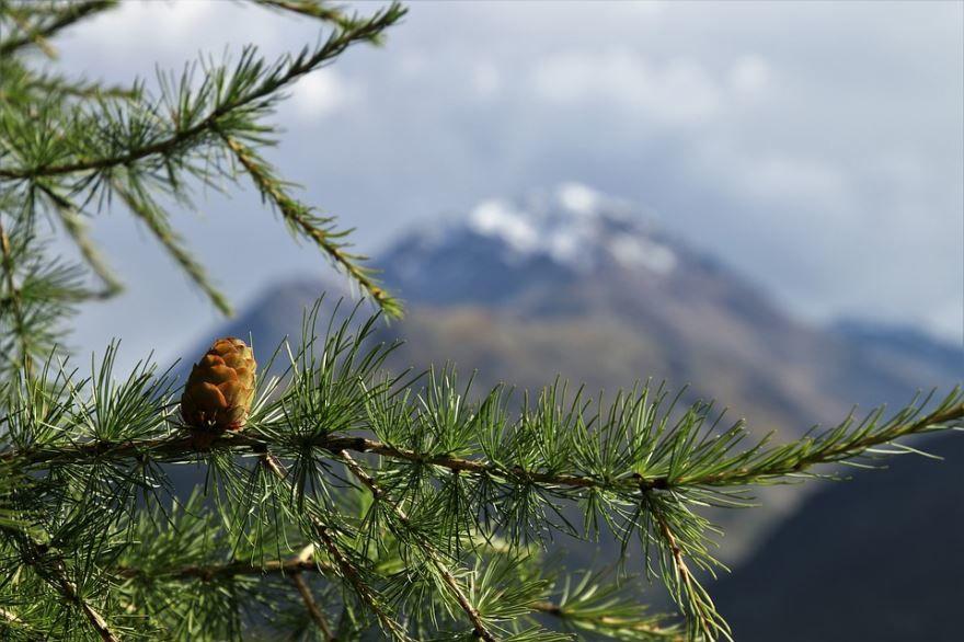 Купить фото домашнего дерева лиственницы из Москвы