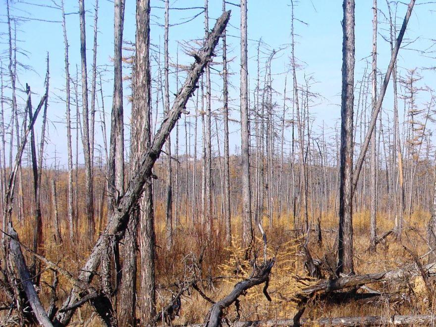Смотреть фото дерева европейской лиственницы, используемого для получения бруса и досок