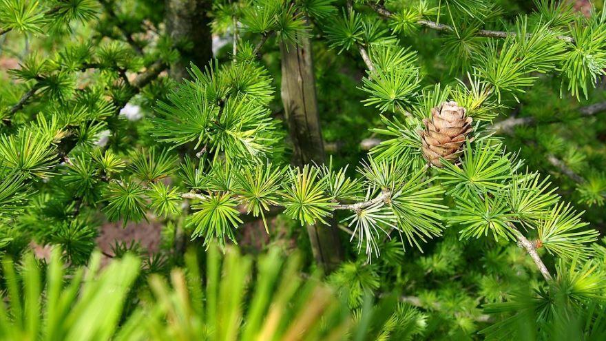 Фото растения – сухой лиственницы леруа онлайн и бесплатно
