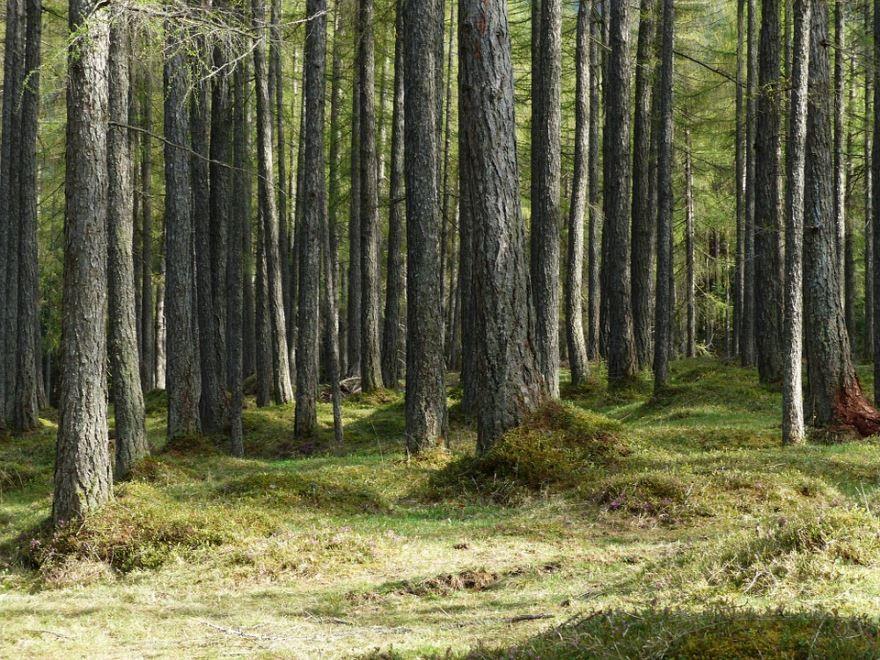 Фото и картинки хвойного растения лиственницы палубной, вырастающей из шишек