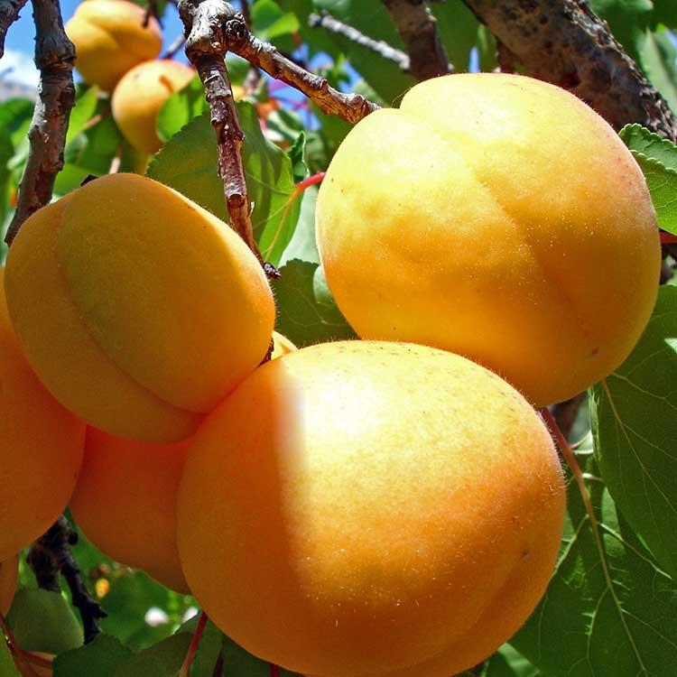 Смотреть фото фрукта – абрикоса, обладающего пользой и вредом для организма бесплатно