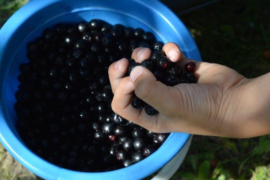 Фото и картинки черноплодной аронии, обладающей пользой и вредом для организма