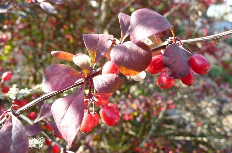 Фото и картинки осеннего барбариса тунберга с листьями, обладающего полезными свойствами