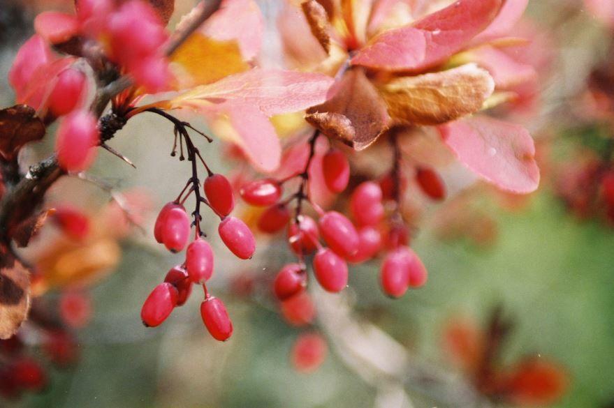 Смотреть фото лечебных ягод барбариса ред из Екатеринбурга, для создания лекарств для аптеки