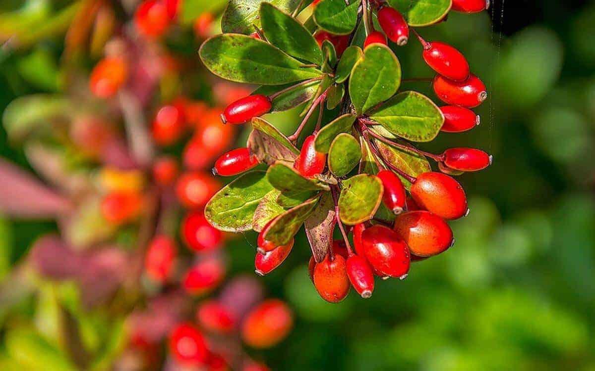 Фото и картинки растения обыкновенный барбарис иов из Ижевска, обладающей пользой и вредом для организма