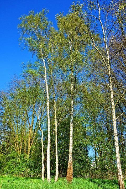 Смотреть фото и картинки дерева березы с листьями бесплатно