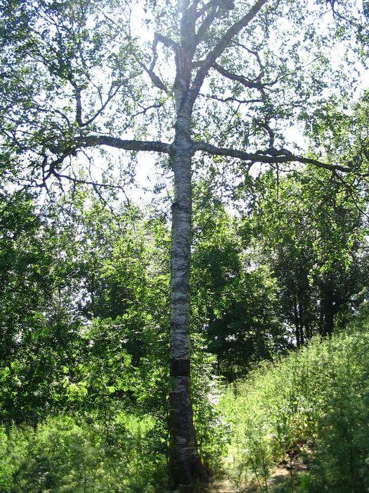 Купить фото русского дерева – березы, стоящей во поле? Скачайте бесплатно