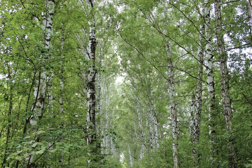 Смотреть бесплатно осеннего растения – плачущей березы бесплатно