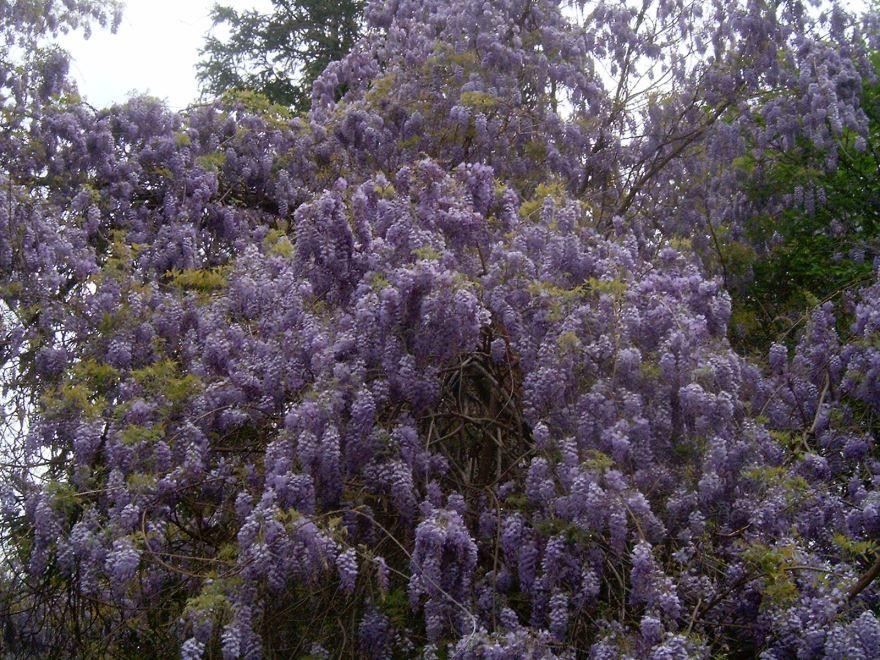 Смотреть фото китайского цветка – глицинии блю мун бесплатно