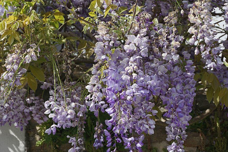 Скачать фото цветущей глицинии, посадка которой осуществлена в открытый грунт