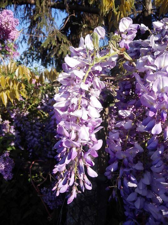 Фото и картинки зимнего цветка домашней глицинии из Японии