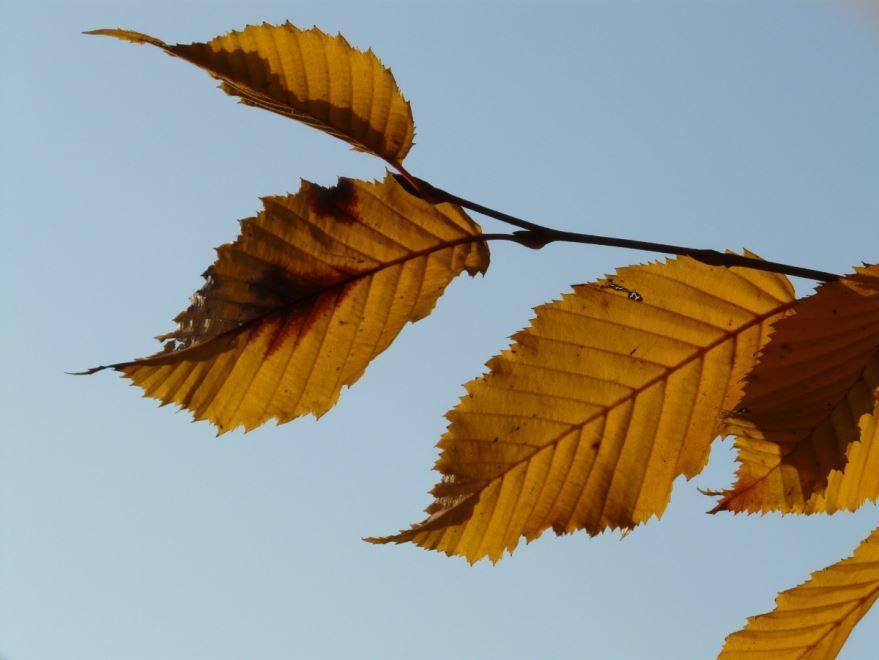 Фото и картинки растения с листьями - граб онлайн