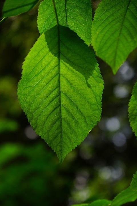 Фото обыкновенного растения с листьями - граба онлайн
