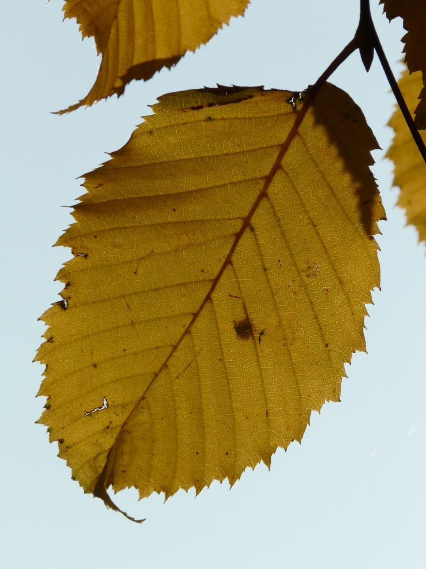 Скачать фото лечебного растения граб бесплатно