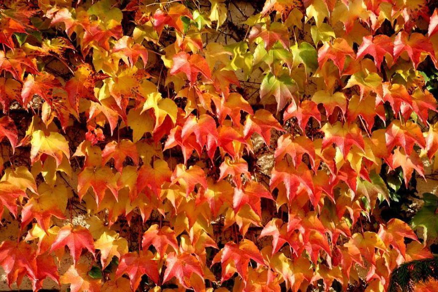 Фото и картинки триостренного, девичего винограда с листьями онлайн