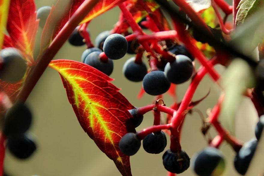 Смотреть фото девичего винограда, посадка которого осуществляется в открытый грунт