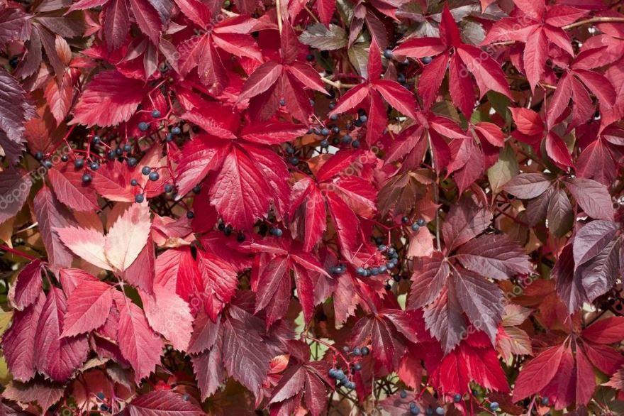 Купить фото осеннего растения – девичий виноград? Скачайте бесплатно
