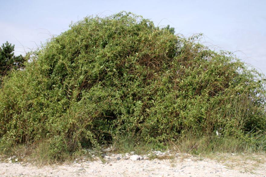 Фото растения китайская дереза из Екатеринбурга бесплатно