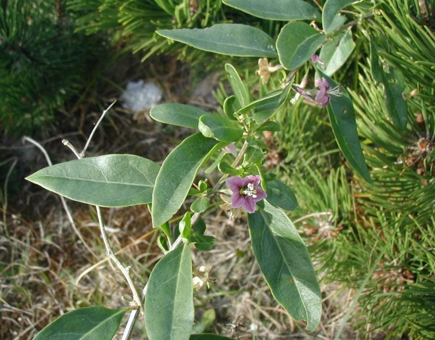 Скачать онлайн фото и картинки обыкновенного растения дереза