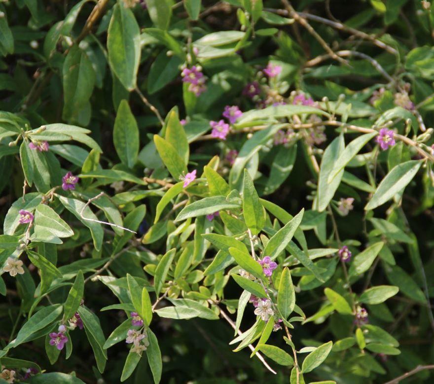 Смотреть фото растения дереза из Красноярска бесплатно