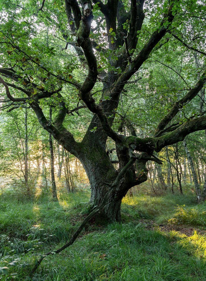 Купить фото русского дерева – дуба, из басни Крылова? Скачайте бесплатно