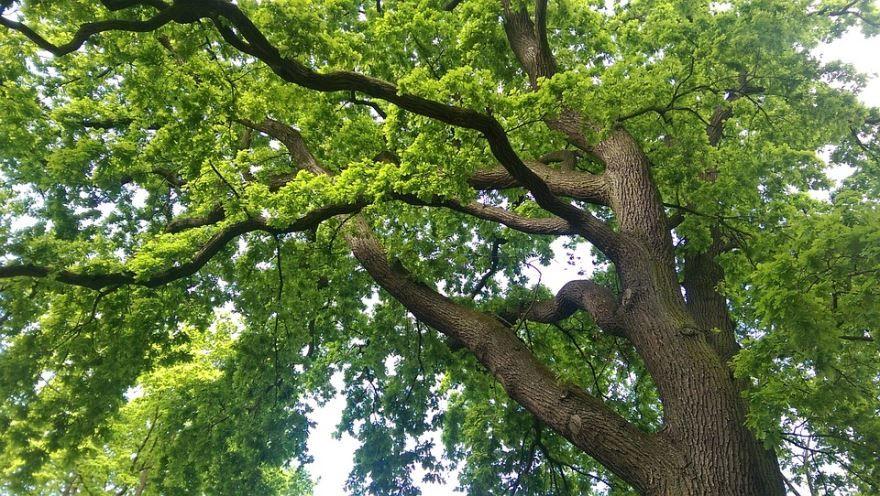 Смотреть фото и картинки дерева дуба с листьями бесплатно