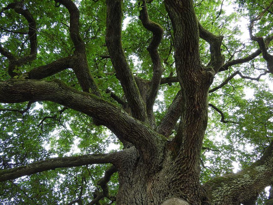 Смотреть бесплатно осеннего растения – дуба зеленого у Лукоморья, как в поэме Пушкина