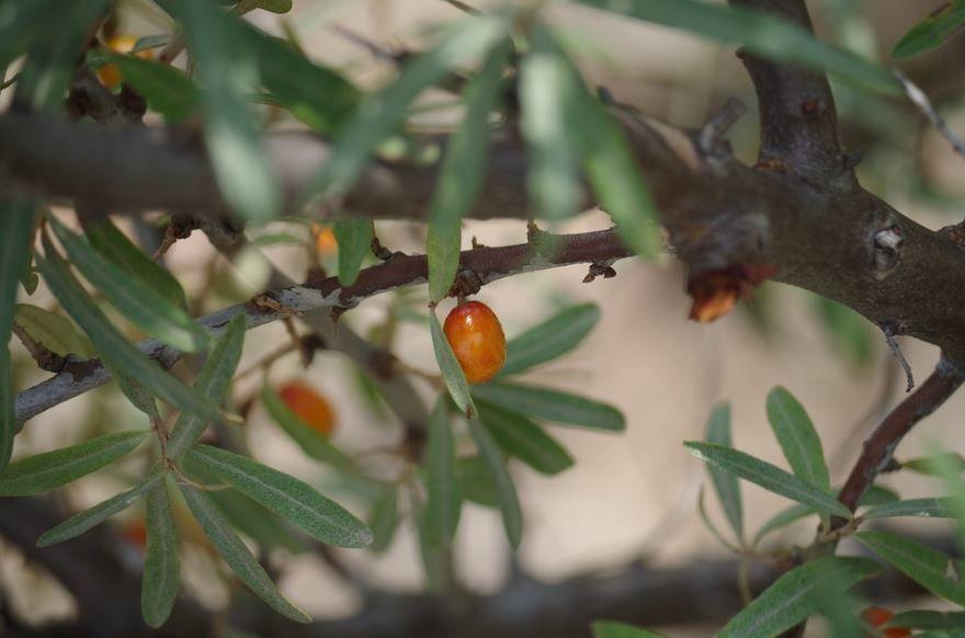 Смотреть фото зимнего растения крушины, обладающей противопоказаниями