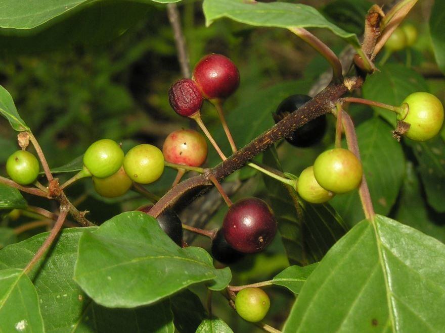 Фото и картинки осенней крушины с листьями, обладающей полезными свойствами