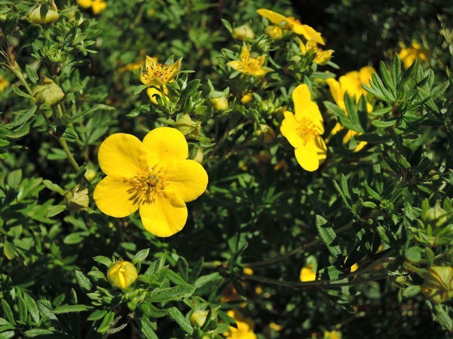 Смотреть фото зимнего растения курильский чай, обладающего противопоказаниями