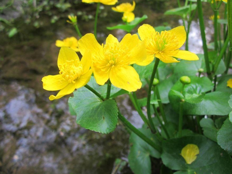 Фото и картинки растения обыкновенного, курильского чая, обладающей пользой и вредом для организма