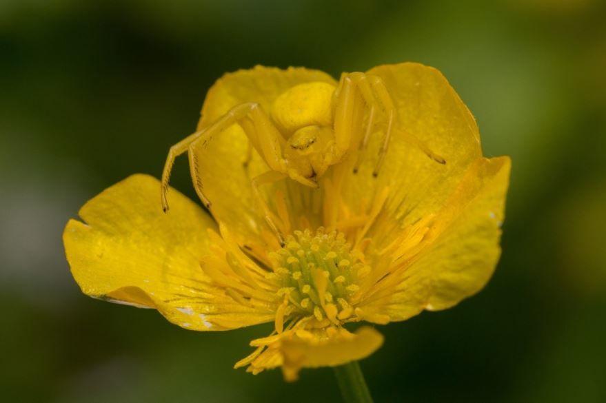 Фото и картинки осеннего курильского чая с листьями, обладающего полезными свойствами