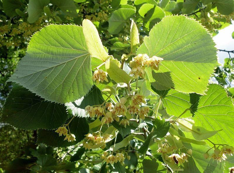 Смотреть фото осеннего растения – липы, для изготовления досок и бруса