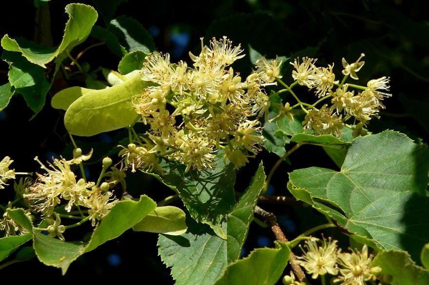 Фото полезного растения липы с полезными качествами бесплатно