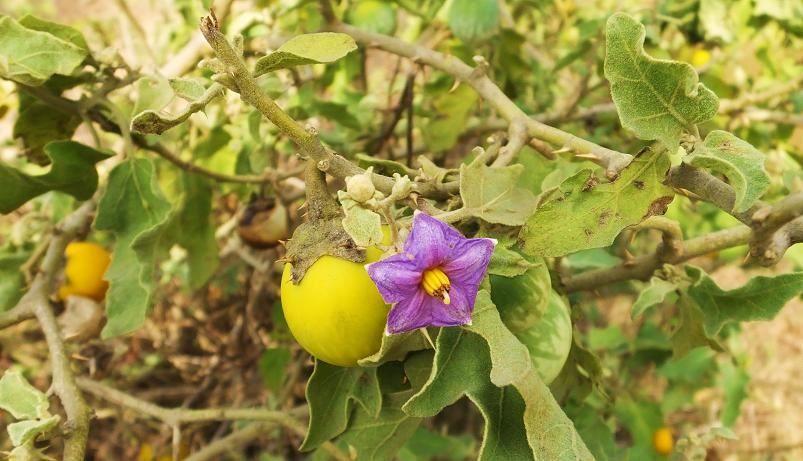 Смотреть фото ложноперечного растения паслен, обладающего вредом и пользой