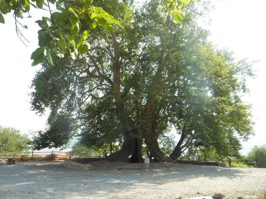 Смотреть фото дерева платан из г. Симферополь