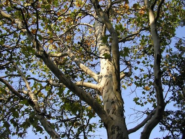 Скачать бесплатно дерева платан из Краснодара онлайн