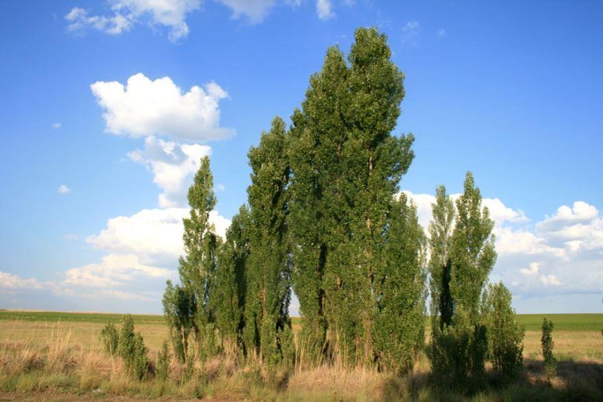 Скачать бесплатно фото русского дерева тополя онлайн