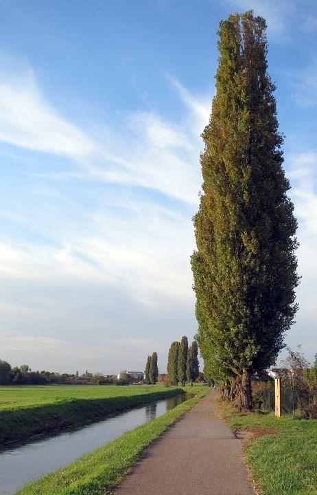 Смотреть фото высоких, осенних тополей с листьями бесплатно