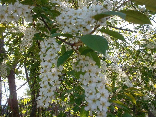 Фото красивых, русских цветков белой черемухи бесплатно