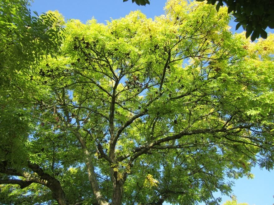 Смотреть фото растения ясень бесплатно онлайн