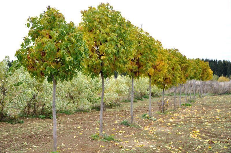 Купить фото дерева ясеня? Скачайте бесплатно