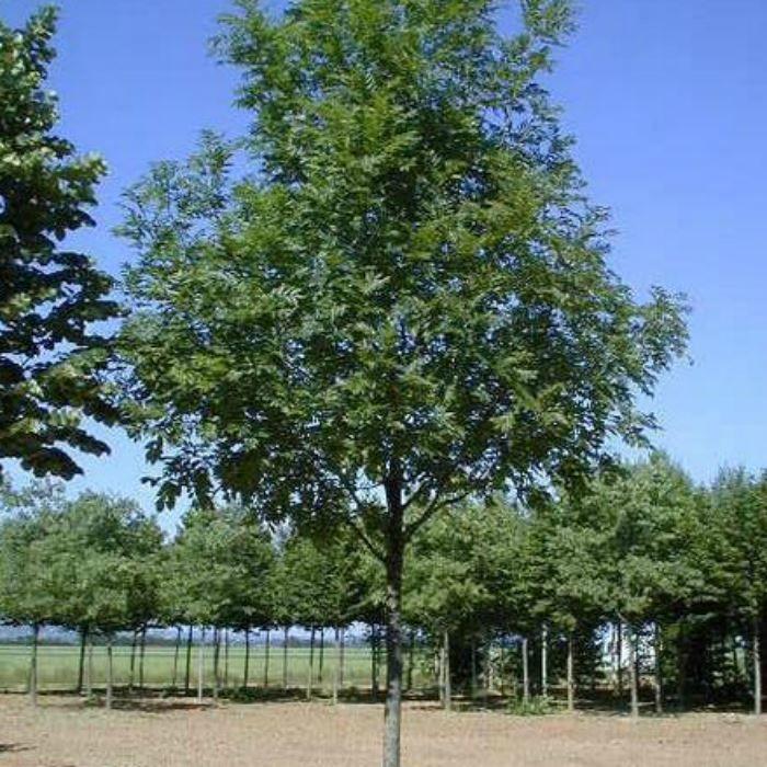 Смотреть фото дерева ясень с листьями онлайн