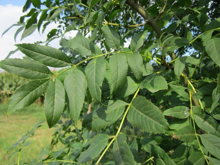 Фото дерева ясень в молодости с листьями, из которого изготавливают доски и бруски